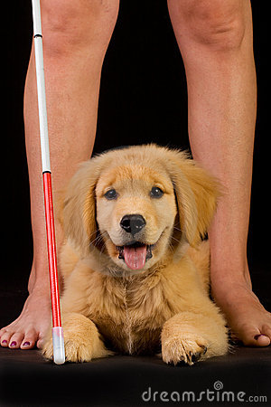 Guide Dog for the Blind in training