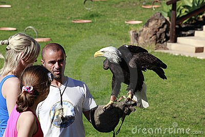 Águila calva en la mano de un halconero Imagen de archivo editorial