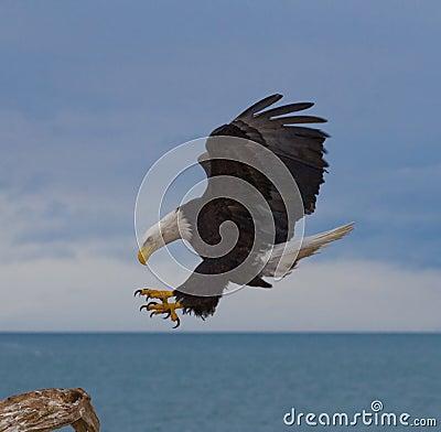 Águila calva en vuelo