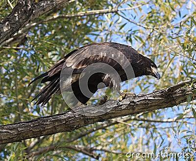Águila calva no madura