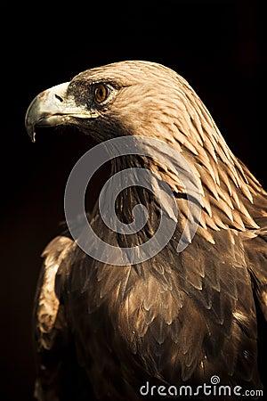 Águila de oro el mirar fijamente