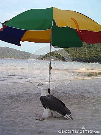 Águila de pescados
