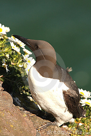 Free Guillemot Stock Photos - 5277493