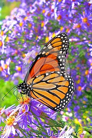 Guindineau de monarque alimentant sur des fleurs