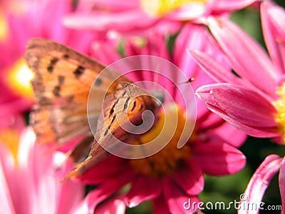 Guindineau sur la fleur rouge
