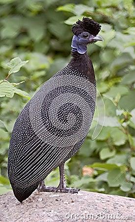 Guinea fowl 2