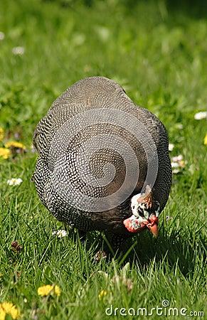 Guinea- fowl