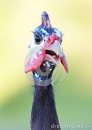 Guinea Fowl Closeup facing camera