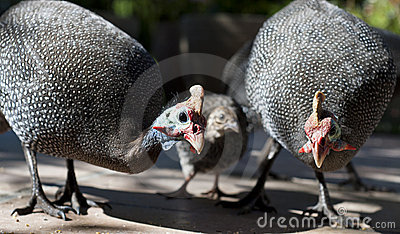 Guinea Fowls are our chickens