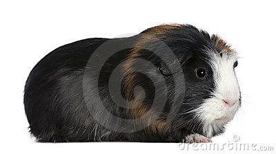Guinea pig, 1 and a half years old