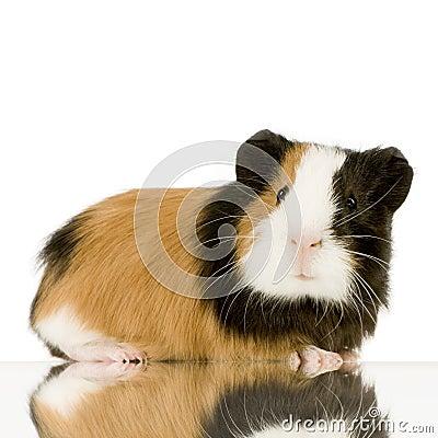 Free Guinea Pig Stock Image - 2332161