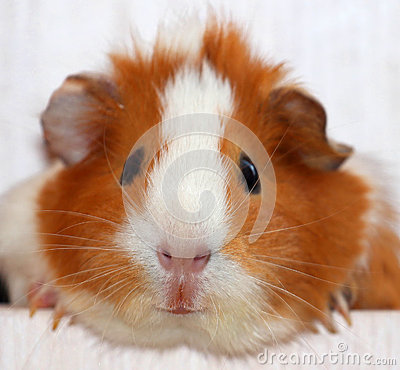 Free Guinea Pig Royalty Free Stock Images - 31152369