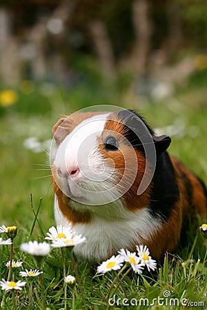 Free Guinea Pig Stock Image - 772431