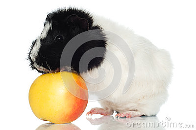 Guinea pig with an apple