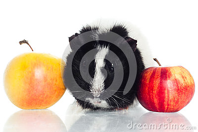 Guinea pig with apples