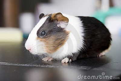 Guinea pig  on black desk