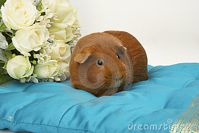 Guinea Pig on Blue Cushion