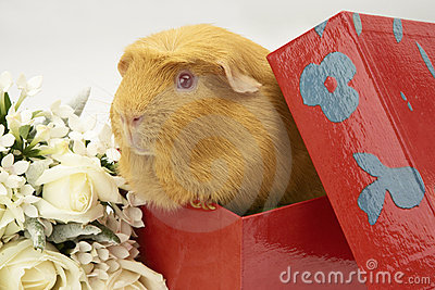 Guinea Pig in bright red box