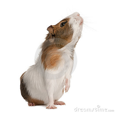 Free Guinea Pig, Cavia Porcellus, Sniffing Royalty Free Stock Images - 15287469