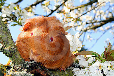 Guinea-pig in a cherry-tree.