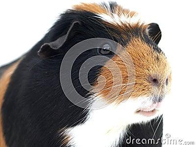 Guinea Pig  closeup