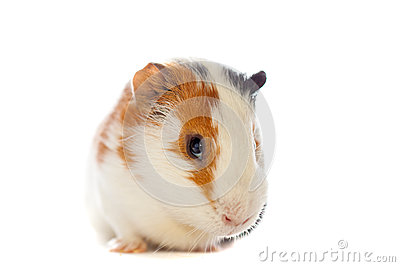 Guinea pig closeup isolated