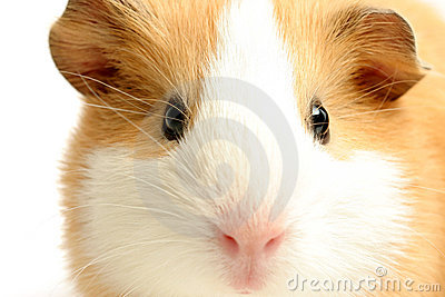 Guinea pig closeup over white