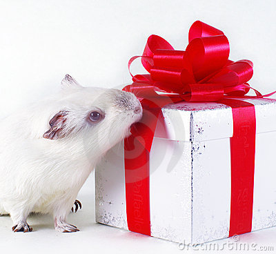 Guinea pig and gift