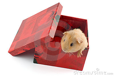Guinea pig in a gift box