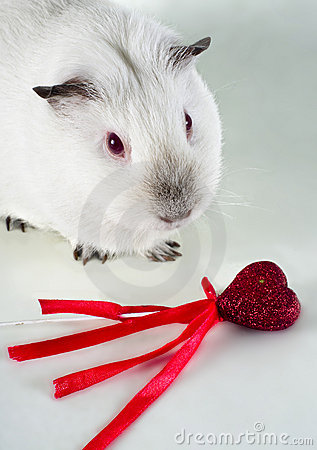 Guinea pig and heart