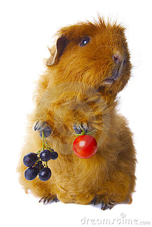 Free Guinea Pig Holding Crops Isolated Royalty Free Stock Photos - 11773988