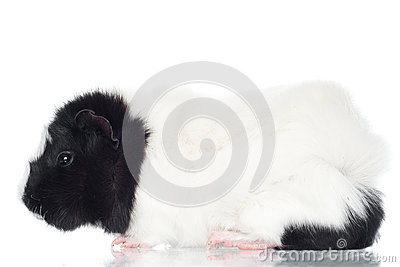 Guinea pig isolated