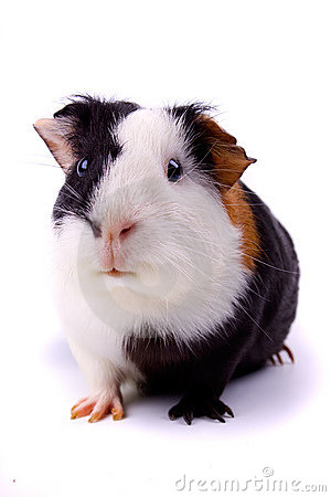 Free Guinea Pig Isolated On White Royalty Free Stock Image - 9869566