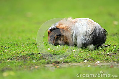 Royalty Free Stock Images: Meishan pig