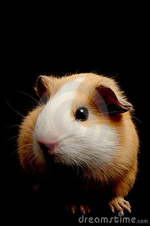 Guinea pig over black
