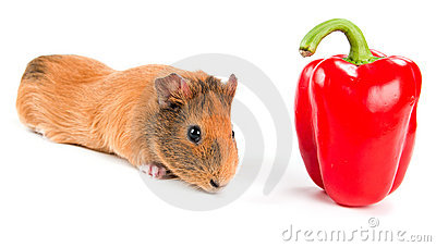 Guinea pig and pepper