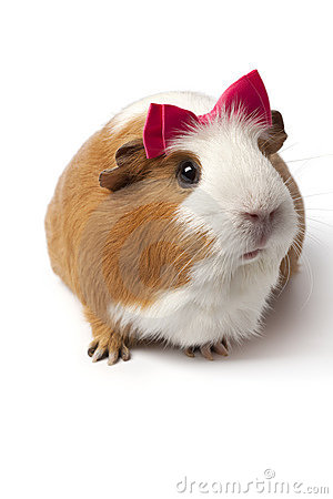 Guinea Pig With A Pink Bow Royalty Free Stock Photography