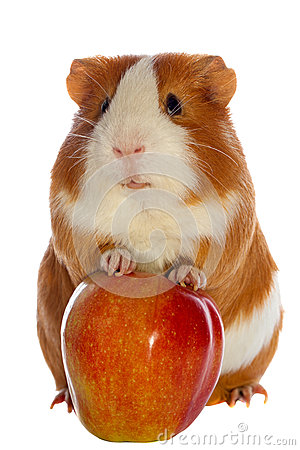 Guinea pig and red apple isolated