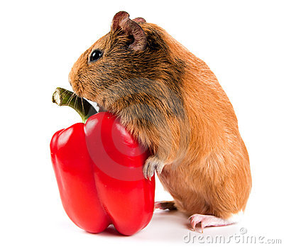 Guinea pig and a red pepper