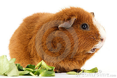 Guinea pig with salad