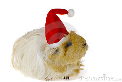 Guinea pig in santa s hat isolated