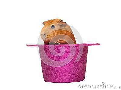 Guinea pig sitting in hat