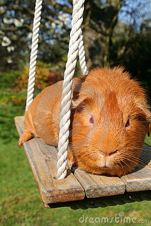 Red Guinea Pig on a Swing