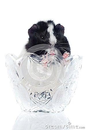 Guinea pig in a vase