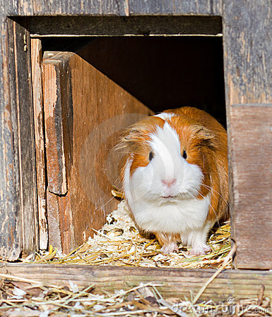 Guinea pig welcomes guests