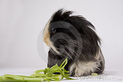 Guinea pig on white