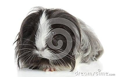 Guinea pig on white in studio