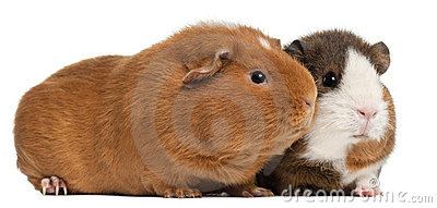 Guinea pigs, 9 months old, in front of white