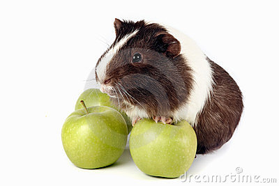 Guinea pigs with green apples