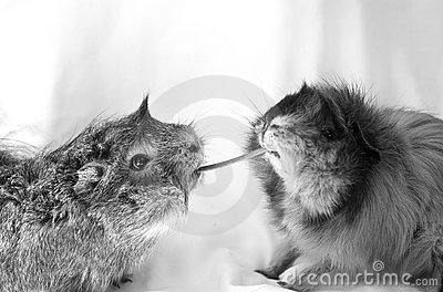 Guinea pigs sharing